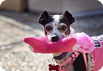 Chihuahua/Italian Greyhound Mix Dog for adoption in Oakley, California - Sadi-ee