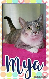 Calico Cat for adoption in Edwards AFB, California - Maya