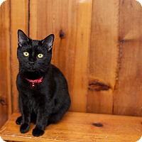 Domestic Shorthair Kitten for adoption in Statesville, North Carolina - Ruthie