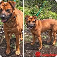 Adopt A Pet :: Simba - Kailua-Kona, HI