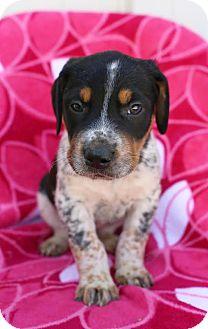 Bluetick Coonhound/Labrador Retriever Mix Puppy for adoption in Allentown, Pennsylvania - Rollo