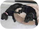 Weimaraner/Labrador Retriever Mix Puppy for adoption in Eustis, Florida - Sadie & Grace  **ADOPTED**
