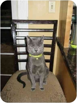 Domestic Shorthair Cat for adoption in Manalapan, New Jersey - Mr. Green