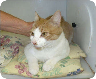 Domestic Shorthair Cat for adoption in Colmar, Pennsylvania - Giovanni