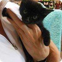 Adopt A Pet :: Hermione - Reston, VA