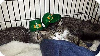 Domestic Mediumhair Kitten for adoption in Scottsdale, Arizona - Scooter