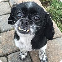 Adopt A Pet :: Lola - Rye Brook, NY