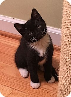Domestic Shorthair Kitten for adoption in Mount Pleasant, South Carolina - Baxter