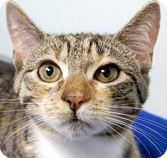 Domestic Shorthair Kitten for adoption in Montclair, New Jersey - Blossom