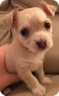 """Maltese/Yorkie, Yorkshire Terrier Mix Puppy for adoption in Oswego, Illinois - I'M ADOPTED Miracles """"Violet"""""""