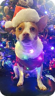 Jack Russell Terrier/Chihuahua Mix Dog for adoption in West Seneca, New York - Count Von Wigglebutt