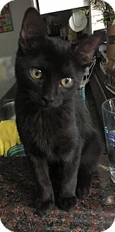 Domestic Shorthair Cat for adoption in Dallas, Texas - Raven