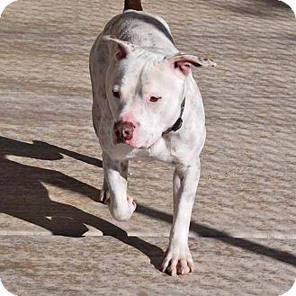 American Staffordshire Terrier Mix Dog for adoption in Sierra Vista, Arizona - Titus