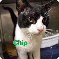 Adopt A Pet :: Chip - Las Vegas, NV