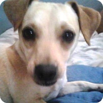 Jack Russell Terrier/Chihuahua Mix Dog for adoption in Gilbert, Arizona - Benji