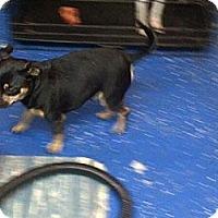 Adopt A Pet :: Inspector - (Sarge) - South Amboy, NJ