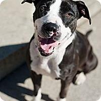 Adopt A Pet :: Dancer - Reisterstown, MD