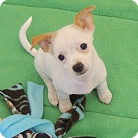 Adopt A Pet :: Ellie - La Habra Heights, CA
