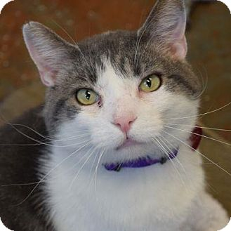 Domestic Shorthair Cat for adoption in Denver, Colorado - Quentin