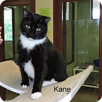 Domestic Shorthair Cat for adoption in Slidell, Louisiana - Kane