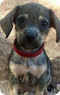Dachshund/Terrier (Unknown Type, Small) Mix Puppy for adoption in Boulder, Colorado - Fendi (FOSTER TO ADOPT)