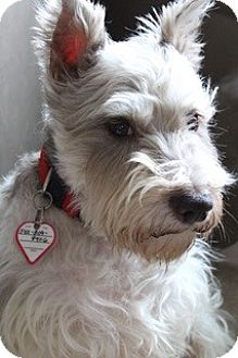 Miniature Schnauzer Dog for adoption in Laurel, Maryland - Buddy