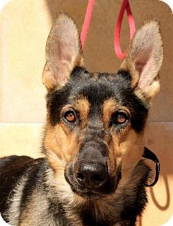 German Shepherd Dog Dog for adoption in Albuquerque, New Mexico - Ivanhoe