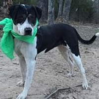 Adopt A Pet :: Scarlet - boxer mix - Dallas, TX
