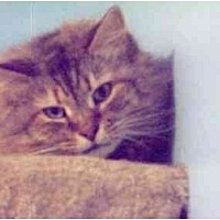 Maine Coon Cat for adoption in East Stroudsburg, Pennsylvania - Louise