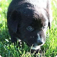 Adopt A Pet :: Dash - Vancouver, BC