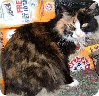 Domestic Mediumhair Cat for adoption in Farmington, Arkansas - Zen-Zen