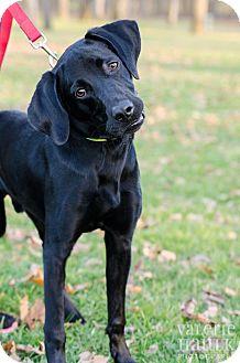 Labrador Retriever Mix Dog for adoption in Lancaster, Ohio - Shadow