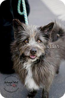 Cairn Terrier Dog for adoption in Burbank, California - Clint ~ Sweet Cairn Terrier!
