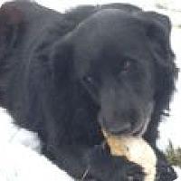 Adopt A Pet :: Boomer - Denver, CO