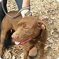 Pit Bull Terrier/Labrador Retriever Mix Dog for adoption in Waxhaw, North Carolina - Luke