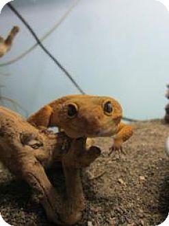 Gecko for adoption in Quilcene, Washington - Kiwi