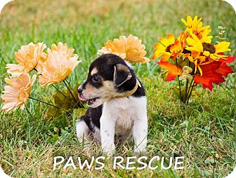 Collie/Shepherd (Unknown Type) Mix Puppy for adoption in Forest Hill, Maryland - Lover Boy