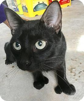 Polydactyl/Hemingway Cat for adoption in Hammond, Louisiana - Merryweather