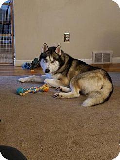 Siberian Husky Mix Dog for adoption in Shingleton, Michigan - Jasper (Bolt)