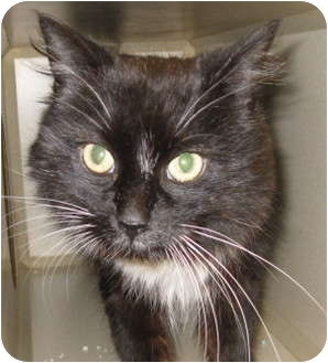 Domestic Mediumhair Cat for adoption in Mesa, Arizona - Tuni
