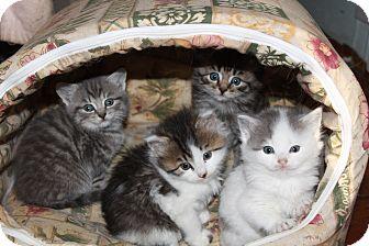 Domestic Shorthair Kitten for adoption in Westfield, Massachusetts - Bunch of Kittens