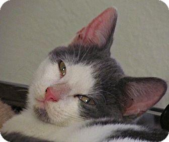 Domestic Shorthair Kitten for adoption in Seminole, Florida - Colt