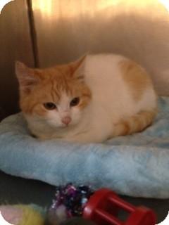 Domestic Shorthair Kitten for adoption in Wenatchee, Washington - Ollie