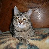 Domestic Shorthair Cat for adoption in Farmington, Arkansas - Ripley