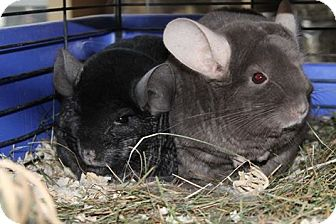 Chinchilla for adoption in Virginia Beach, Virginia - Hurley & Bowden