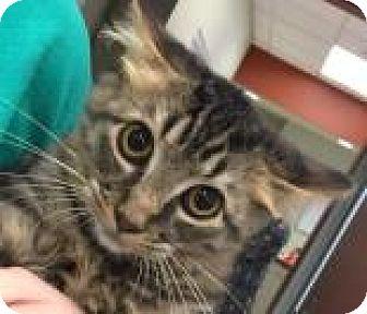 Domestic Mediumhair Cat for adoption in Columbus, Georgia - Beckham 4795