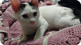 Domestic Shorthair Kitten for adoption in Harriman, New York - Willow