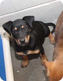 Shepherd (Unknown Type) Mix Puppy for adoption in Pompton Lakes, New Jersey - gemma