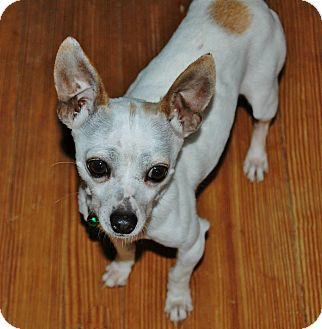 Chihuahua Dog for adoption in Charlotte, North Carolina - Jack Frost