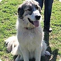 Adopt A Pet :: Rogue - Kyle, TX
